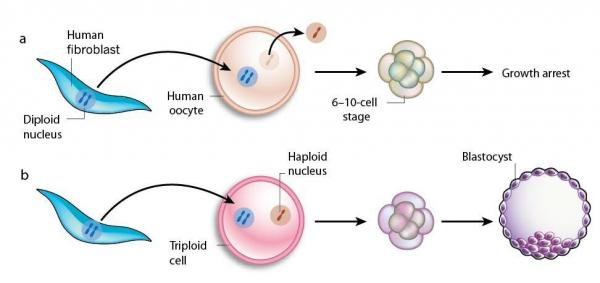 <p>In a first attempt (top), researchers removed an egg's genetic material and replaced it with the genes from an adult skin cell. These embryos didn't grow.  The researchers tried another method: They left the egg's  original genetic material in, but then also added genetic material from an adult cell (bottom). These embryos started growing.</p>