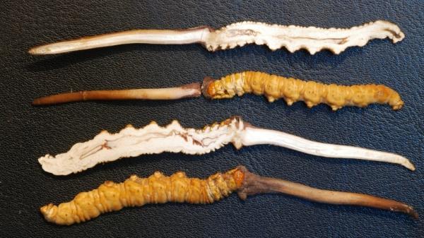 <p>Yartsa gunbu (<em>Cordyceps Sinensis</em>) sliced in half. </p>