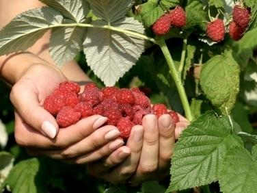 <p>When it comes to fine-tasting fruit, the art of patience can't be underestimated.</p>