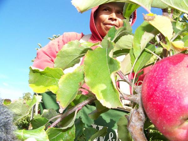 Mario Flores of Kennewick, picks pink lady apples during the 2010 harvest. By Anna KIng