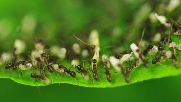 <strong>Animal Kings:</strong> Ants, like these workers carrying eggs to a plant's leaf after rain flooded their nest, have a combined biomass estimated in the billions of tons.