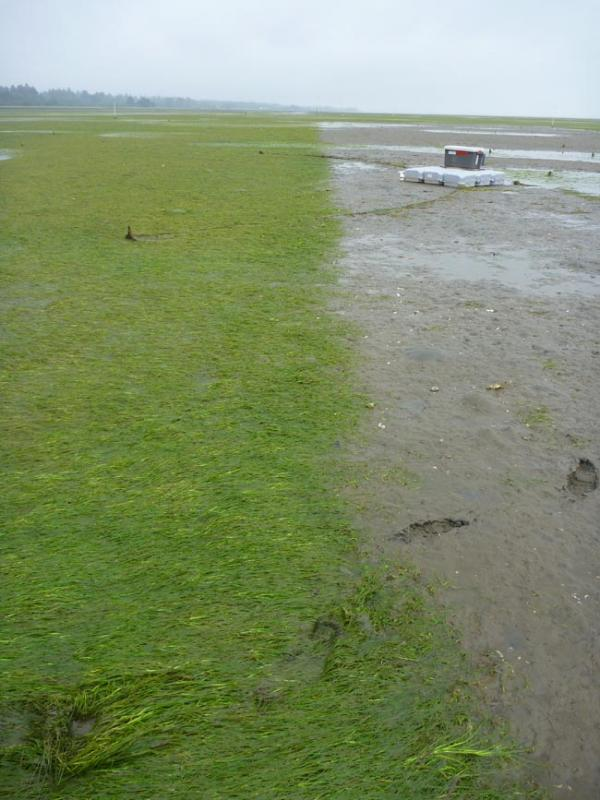 Experimental application of herbicide (on right) controlled Japanese eelgrass. Photo by Dr. Kim Patten, WSU Extension
