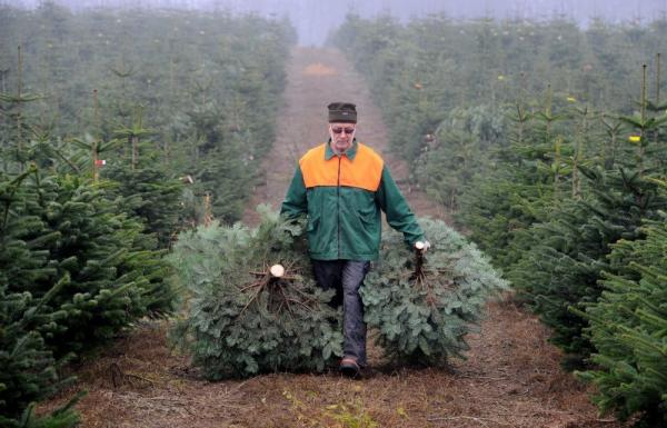 Forest worker Peter Otto carries two fir trees during the official opening of Christmas tree season in Stolpe, northern Germany.