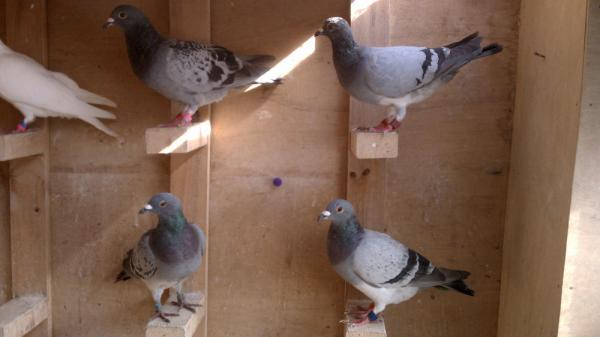 Bill Desmarais keeps his racing pigeons in a loft behind his house in Fall River, Mass.