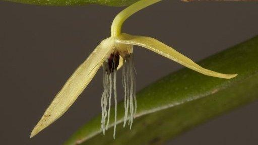 Bulbophyllum nocturnum, the only known night-flowering orchid