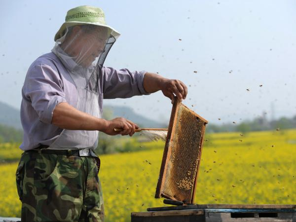 A Chinese beekeeper harvests honey beside a rape seed field in Anhui province. China is major producer of honey and bee products.