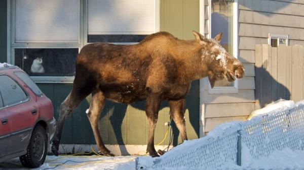 A moose catches some rare winter sun at reporter Annie Feidt's home in Anchorage. During the winter, about 1,500 moose roam the city.