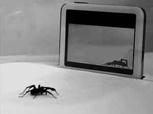 A wolf spider watches an opponent dance.