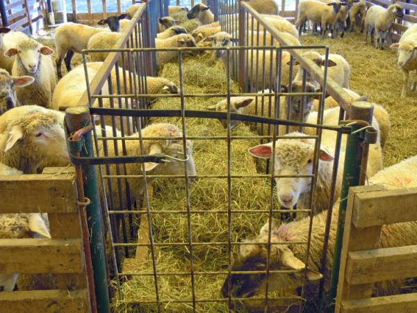 A holding pen for lamb at the Will-O-Wood Farm in southeastern Ohio.