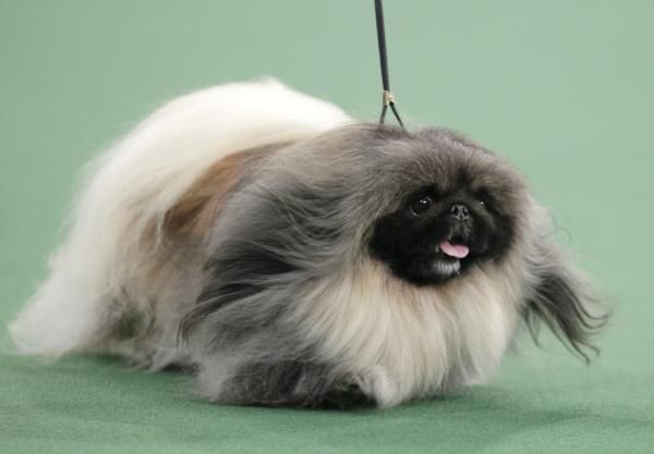 Malachy, a Pekingese, won best in show at the 136th annual Westminster Kennel Club dog show in New York on Tuesday.