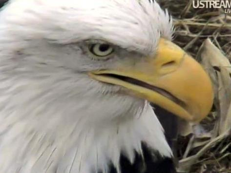 A close up view of mom, on the nest in Decorah, Iowa.