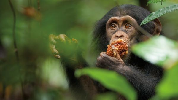 "Nicknamed ""Oscar"" by <em>Chimpanzee</em>'s filmmakers, the young chimp at the center of the film is adopted by an older male chimp — a rare occurrence — after his mother is killed."