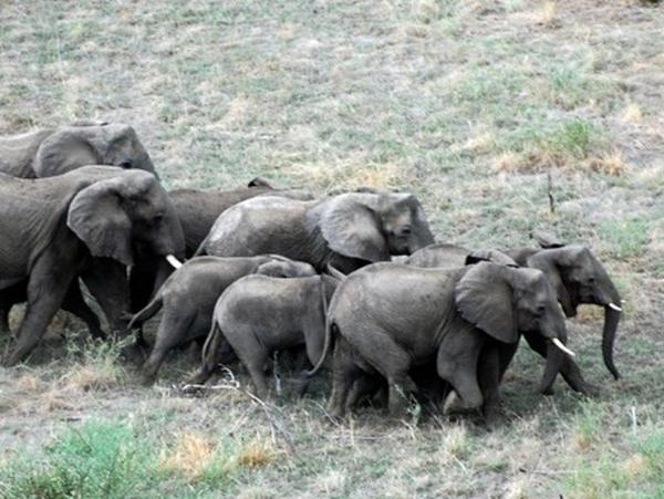 A herd of elephants crosses the bush in South Sudan.