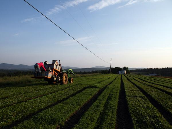 Johnson and his employees used to cut the fields of greens by hand. Now, they use an industrial-scale cutter, which is more efficient and allows them to grow and sell more greens at a lower price.