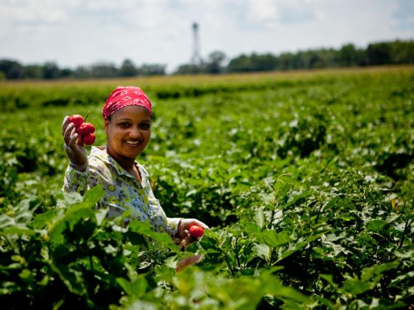 A Liberian immigrant picks African peppers on the Bowling family farm in Charles County, Md. It's one of a handful of farms experimenting with growing African produce to cater to the D.C. region's large African immigrant community.