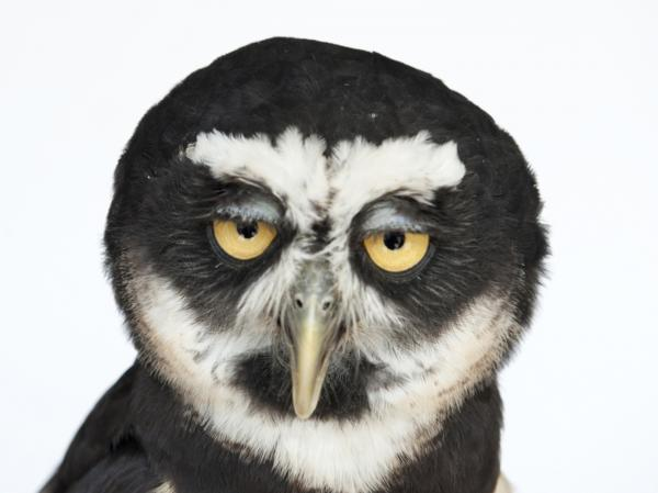 A spectacled owl (Pulsatrix perspicillata)