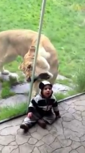 "A lioness tries to ""eat"" a baby."