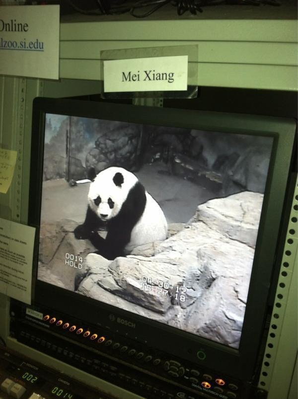 """Here's Mei right now,"" tweeted the National Zoo just before the procedure. ""Volunteers are watching her from our research station as we prepare."""