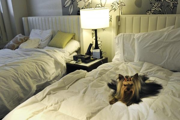 Stewart, a Yorkshire terrier, relaxes in his hotel room after checking in at the Affinia Manhattan Hotel.