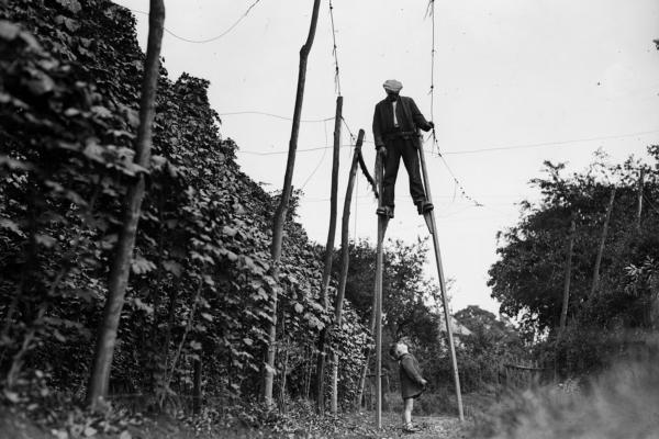 A stilt walker works in the hop fields of Wateringbury, England, in 1931. Hops grow on climbing vines and are used primarily in beer.