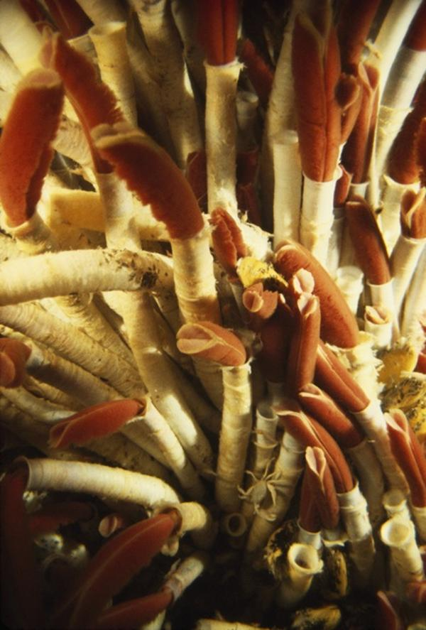 In the mid-1970s, the deep sea was believed to be too barren to support life. Then scientists stumbled upon tangles of long, slender, red-tipped worms that rose from the rocks like a field of flowers.