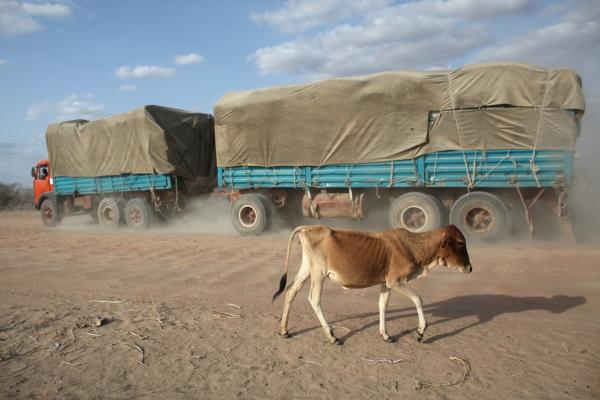 A malnourished cow walks along a road near the giant Dadaab refugee settlement on July 21.