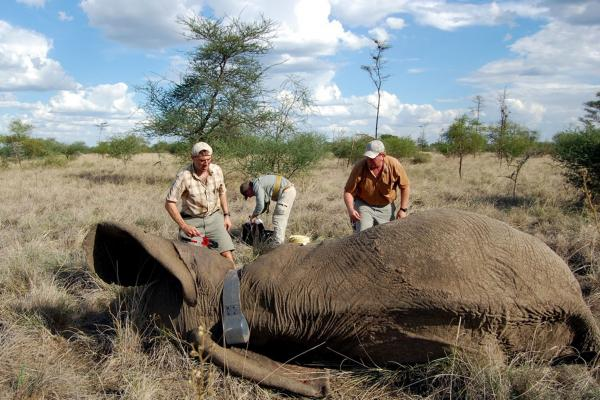 The Wildlife Conservation Society team led by Paul Elkan (left) outfits a tranquilized female elephant with a radio-tracking collar.