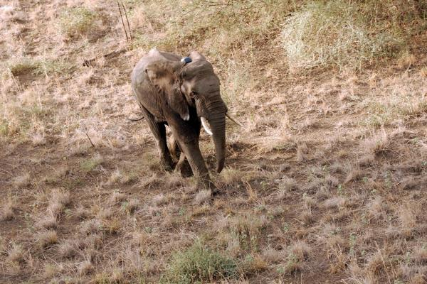 A couple of minutes after being administered a reversal agent, the female elephant is back on her feet, returning to the bush wearing a tracking collar.