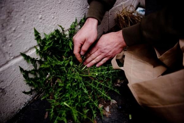 By a wall at the back of a parking lot, Thayer discovers edible dandelions. His biggest worry when foraging urban plants is that they may be contaminated with herbicides. How to avoid them? Know the area you're foraging, he suggests, and check plants closely for damage that could be caused by spraying.