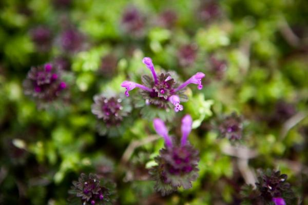 "Henbit, a type of wild mint. ""Any place you live there's probably 75 different wild vegetables you can add to your diet over the course of the year,"" Thayer says."