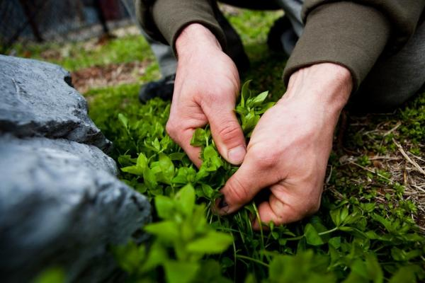 Thayer pulls some tender young chickweed from next to a rock in Chinatown. He says that one reason people get turned off by wild plants is that they eat the wrong parts, or eat them at the wrong time of year.