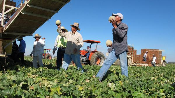 Workers harvest cantaloupe near Firebaugh, Calif.