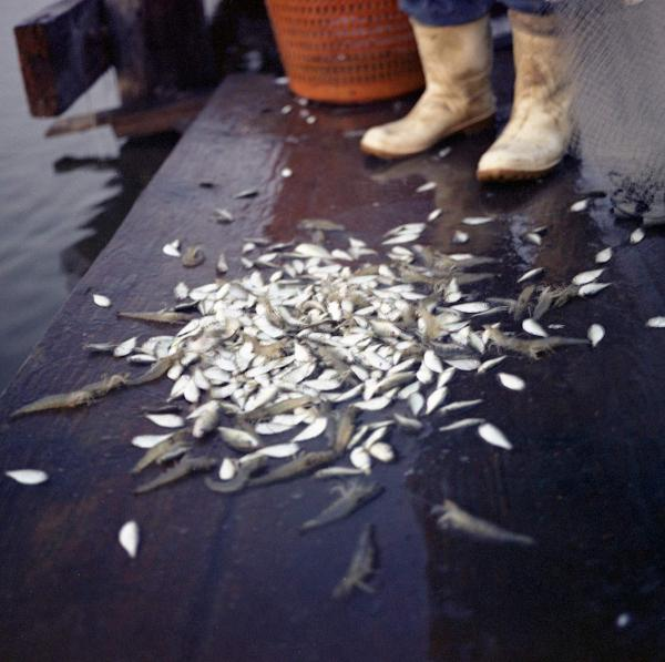 <em>Edison Dardar's Shrimp with Bycatch, Isle de Jean Charles, Louisiana,</em> 2010