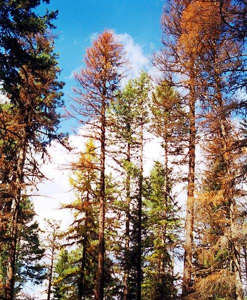 Bug-infested forests are a growing concern in Washington state. Photo credit: Washington DNR