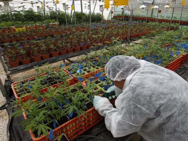 A worker tends to cannabis plants at a plantation in northern Israel. Researchers say they have developed marijuana that can be used to ease the symptoms of some ailments without getting patients high.