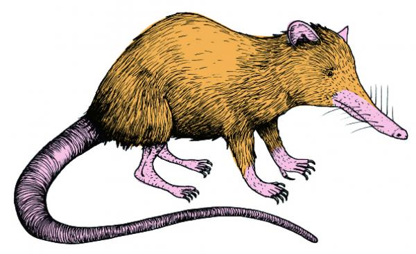 The Solenodon