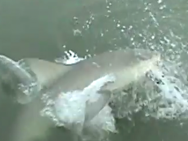 A shark eats a fish.