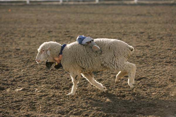 Mutton busting, Vale, Ore.