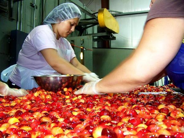 Maryana Garcia, 20, and other workers wedge fresh cherries into a tray nearly ready to be put in the garage-sized fruit dehydrator at Chukar Cherries. Photo by Anna King
