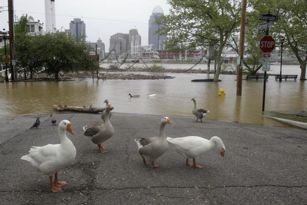 April 26: Geese wander on a flooded street near downtown Cincinnati.