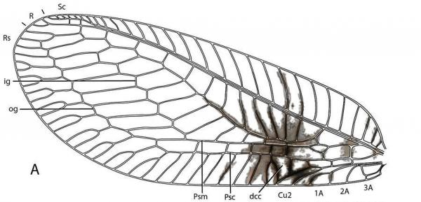 A diagram of the forewing of a <em>Semachrysa jade </em>lacewing with its distinctive markings.