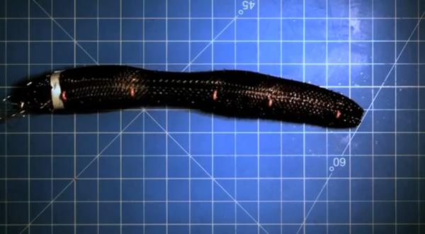 A robotic worm.