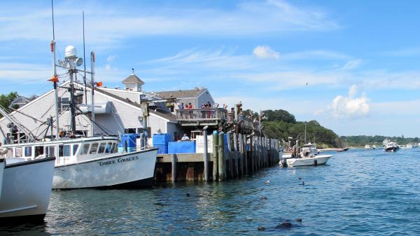 Seals swim among the docked boats at Chatham's fish pier, waiting for a free meal.