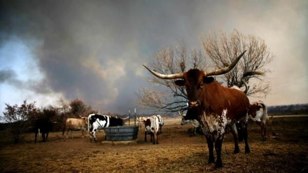 Longhorn cattle grazed as a wildfire burned in the distance in the Texas town of Graford, northwest of Fort Worth.