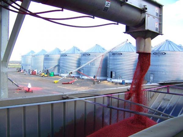 Wheat pours out of a treating machine that applies chemicals and red dye to protect it from pests. Photo by Anna King
