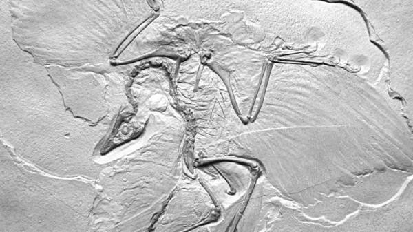 "Thor Hanson's own cast of <em>Archaeopteryx lithographica</em> presents what he calls the ""ancient wing written in stone."""