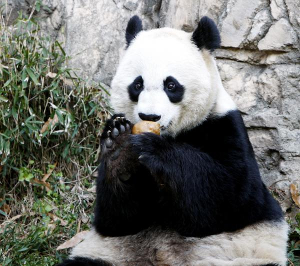 Mei Xiang, who gave birth overnight, enjoying a piece of fruit on Dec. 19, 2011, at the National Zoo.