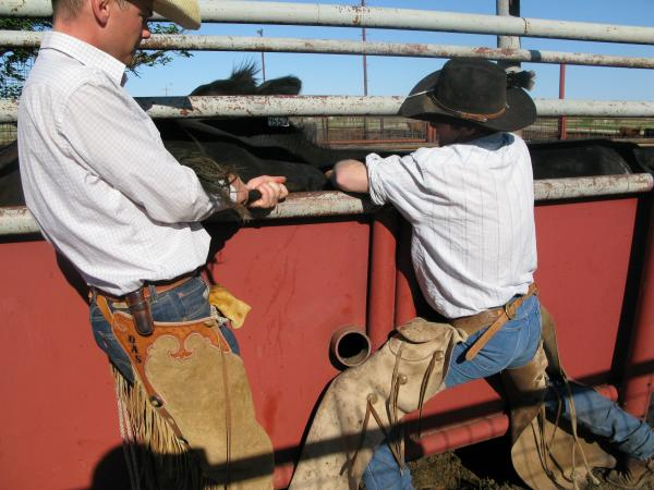 Cowboys get the cows lined up in a chute to administer shots to prepare them for artificial insemination.