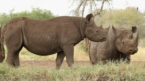 Rhinos stand at a water hole in Mkomazi rhino sanctuary on in Mkomazi, Tanzania.
