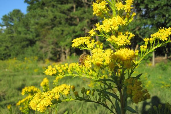 A bee gathers pollen from goldenrod, a wildflower that's popular with meadmakers, in Scarborough, Me.